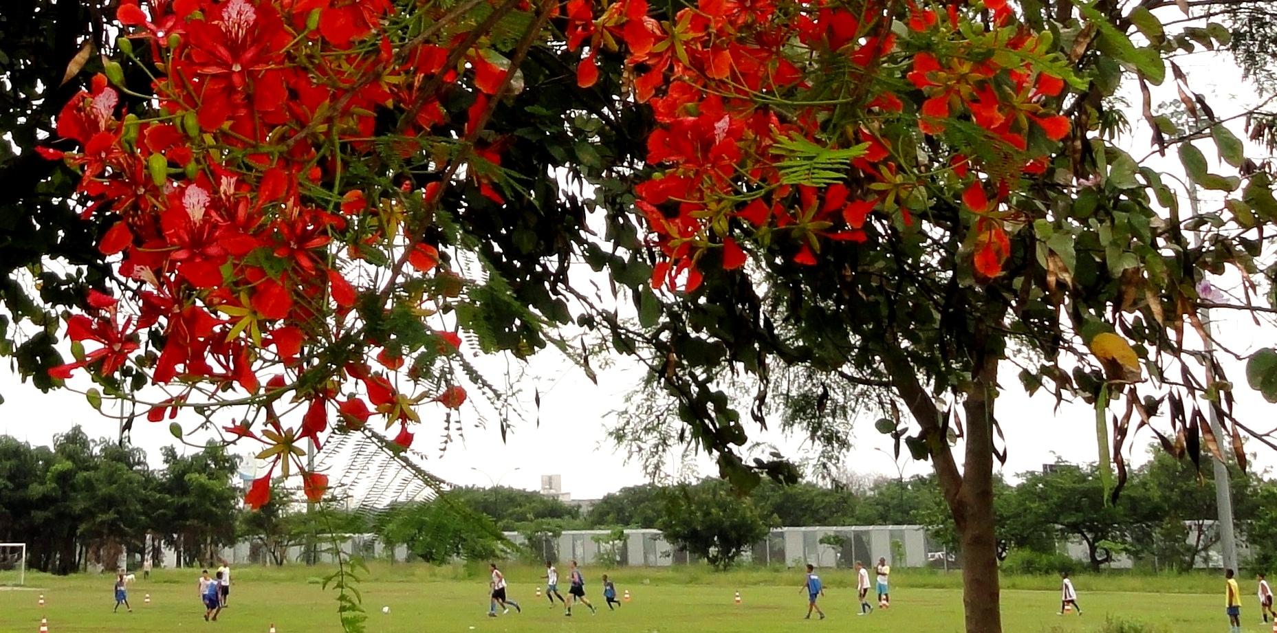 C:\Users\Jose Fantini\Pictures\A Mare\Arvores e outras\Ipes e outras\Árvores - Ipê (22-09-09)\futebol flamboyan DSC00988 livreto.jpg
